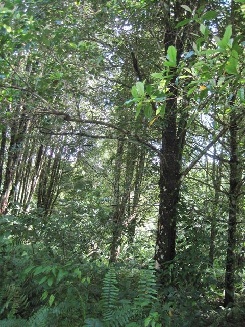 Tidore Indonesia bosque especias